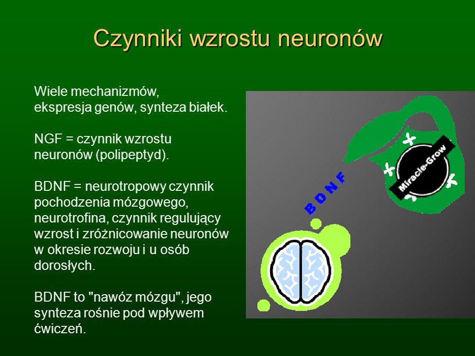 Czynniki wzrostu neuronów Wiele mechanizmów, ekspresja genów, synteza białek. NGF = czynnik wzrostu neuronów (polipeptyd). BDNF = neurotropowy czynnik