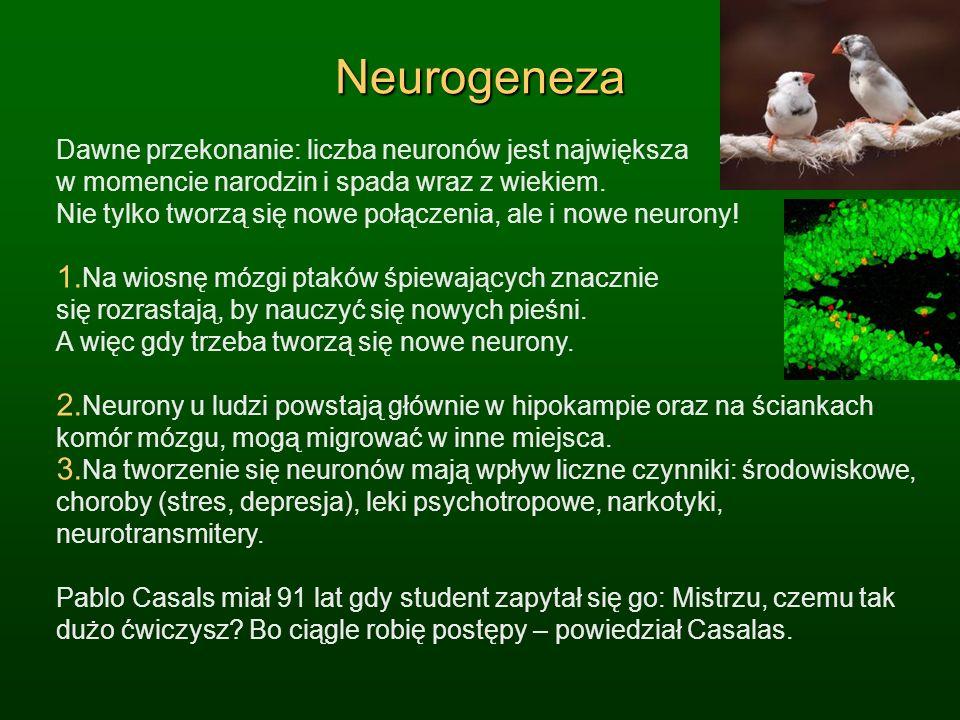 Neurogeneza Dawne przekonanie: liczba neuronów jest największa w momencie narodzin i spada wraz z wiekiem. Nie tylko tworzą się nowe połączenia, ale i