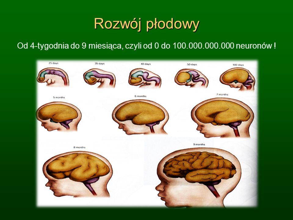 Rozwój płodowy Od 4-tygodnia do 9 miesiąca, czyli od 0 do 100.000.000.000 neuronów !