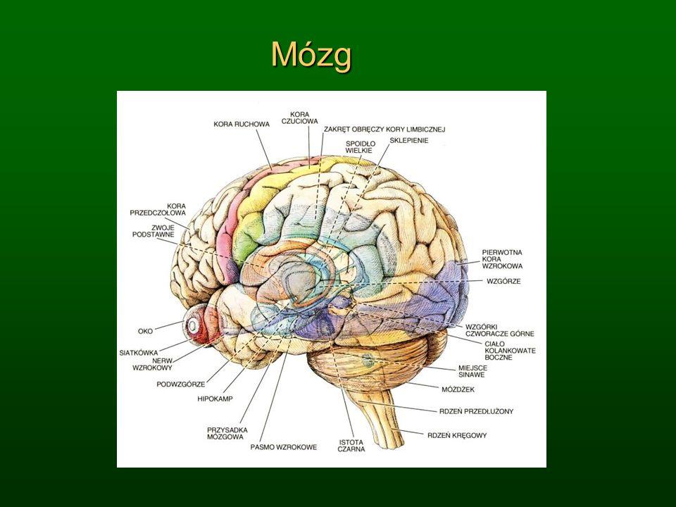 Przyrosty liczby połączeń Od pierwszego do 21 roku życia, cały mózg; mamy okresy intensywnego rozwoju i konsolidacji zmian.