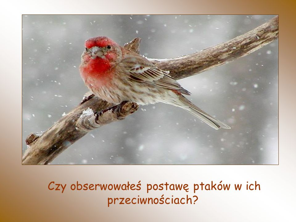 Czy obserwowałeś postawę ptaków w ich przeciwnościach?
