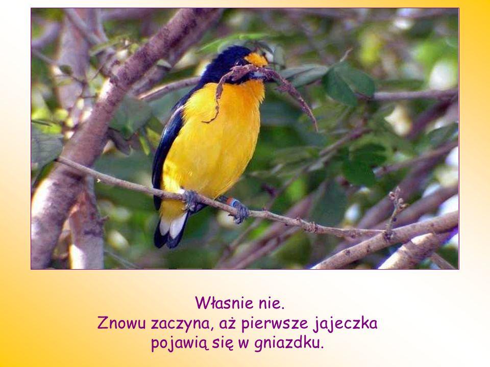 Jak myslisz Co zrobi ptak ? Zrezygnuje z obowiązku?