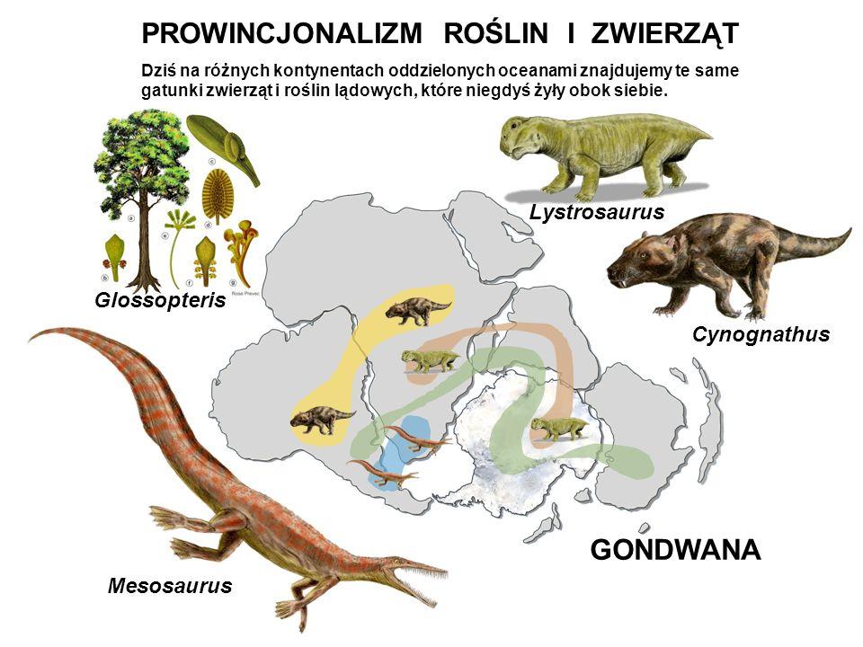 Cynognathus Lystrosaurus Mesosaurus Glossopteris GONDWANA PROWINCJONALIZM ROŚLIN I ZWIERZĄT Dziś na różnych kontynentach oddzielonych oceanami znajduj