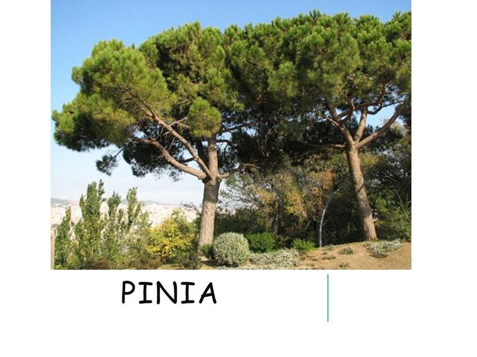 PINIA
