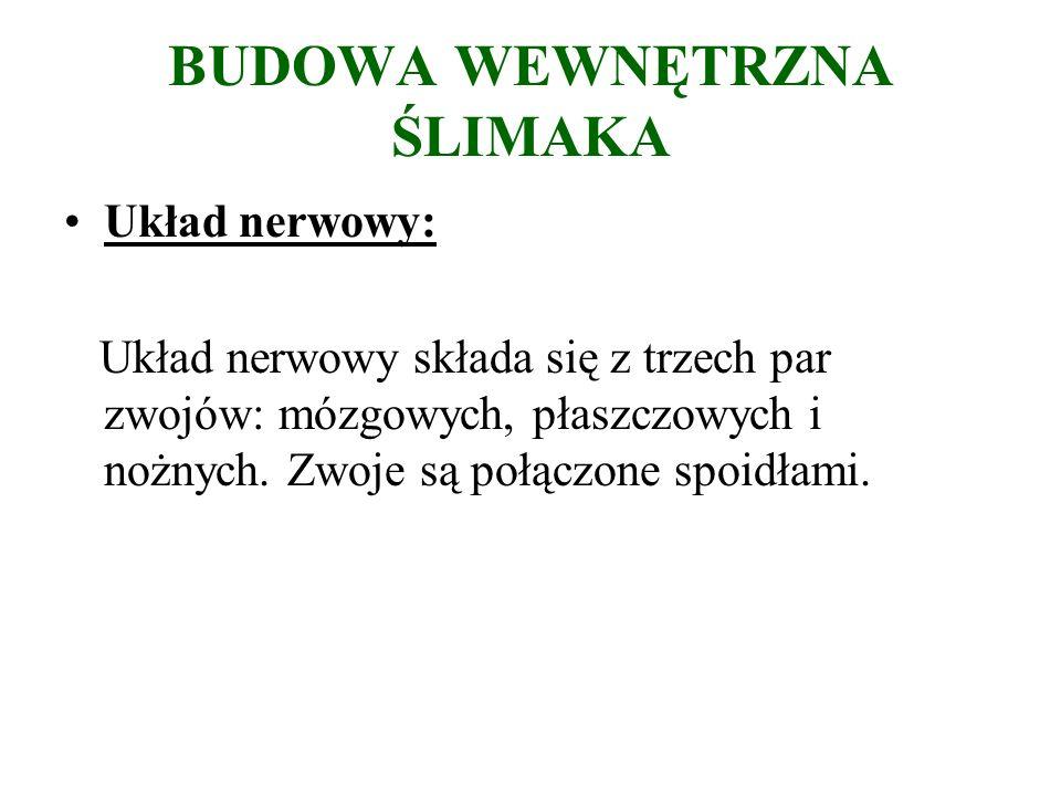 BUDOWA WEWNĘTRZNA ŚLIMAKA Układ nerwowy: Układ nerwowy składa się z trzech par zwojów: mózgowych, płaszczowych i nożnych.
