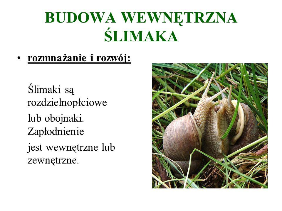 BUDOWA WEWNĘTRZNA ŚLIMAKA rozmnażanie i rozwój: Ślimaki są rozdzielnopłciowe lub obojnaki.