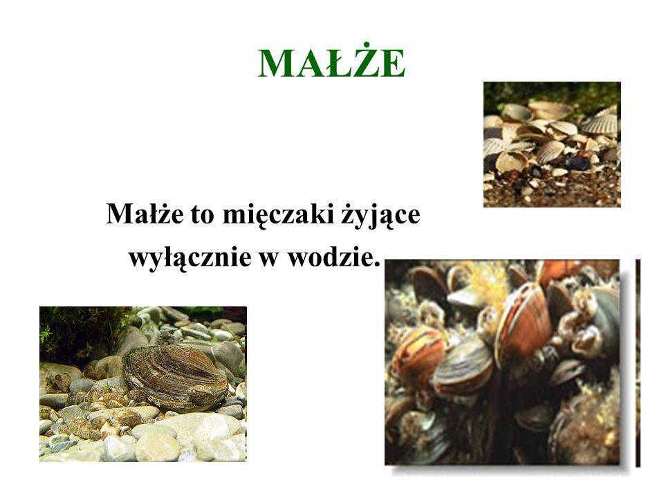 MAŁŻE Małże to mięczaki żyjące wyłącznie w wodzie.