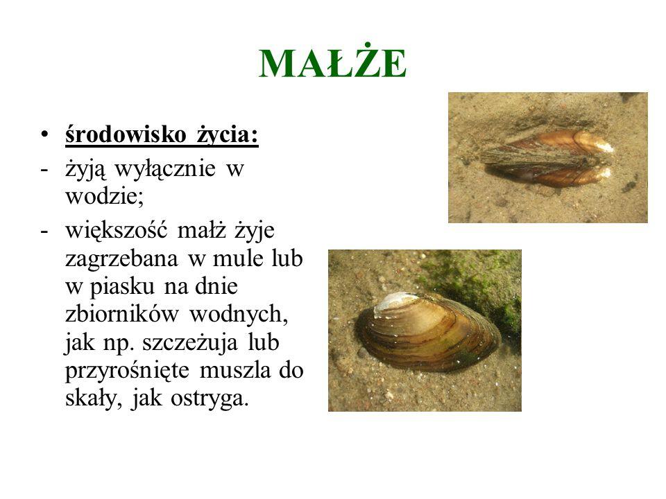 MAŁŻE środowisko życia: -żyją wyłącznie w wodzie; -większość małż żyje zagrzebana w mule lub w piasku na dnie zbiorników wodnych, jak np.