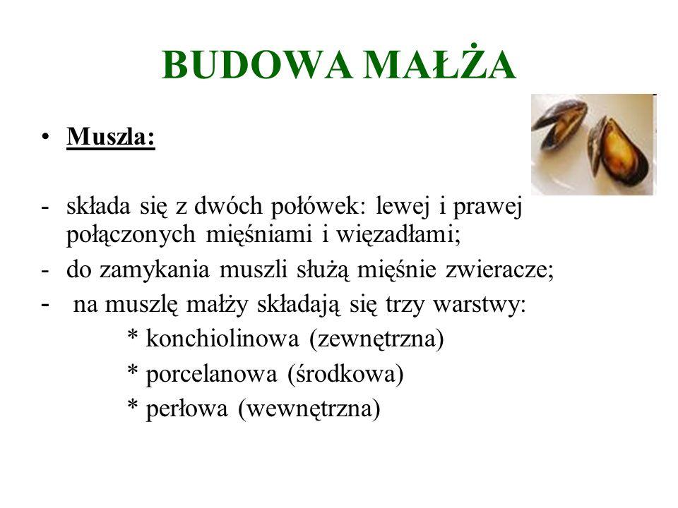 BUDOWA MAŁŻA Muszla: -składa się z dwóch połówek: lewej i prawej połączonych mięśniami i więzadłami; -do zamykania muszli służą mięśnie zwieracze; - na muszlę małży składają się trzy warstwy: * konchiolinowa (zewnętrzna) * porcelanowa (środkowa) * perłowa (wewnętrzna)