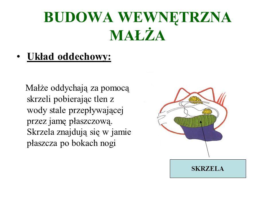 BUDOWA WEWNĘTRZNA MAŁŻA Układ oddechowy: Małże oddychają za pomocą skrzeli pobierając tlen z wody stale przepływającej przez jamę płaszczową.