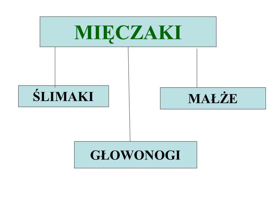 PRZEDSTAWICIELE MAŁŻ: szczeżuja wielka -największy małż występujący w Polsce; -żyje w wodach bieżących i stojących; -ma muszlę delikatną.