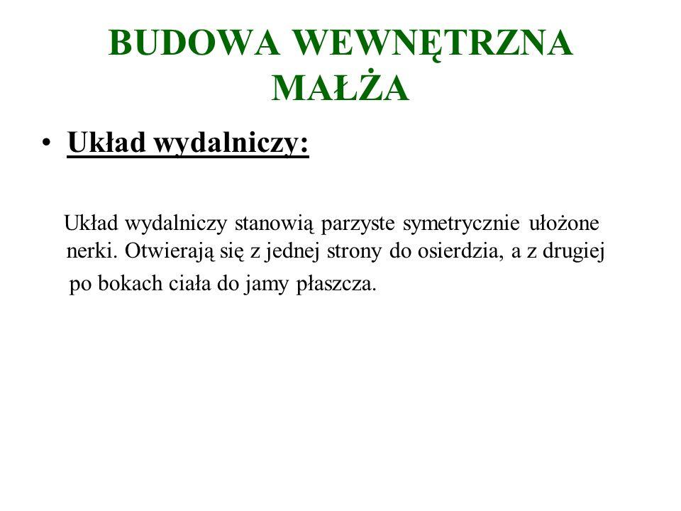 BUDOWA WEWNĘTRZNA MAŁŻA Układ wydalniczy: Układ wydalniczy stanowią parzyste symetrycznie ułożone nerki.