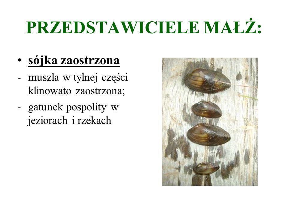 PRZEDSTAWICIELE MAŁŻ: sójka zaostrzona -muszla w tylnej części klinowato zaostrzona; -gatunek pospolity w jeziorach i rzekach