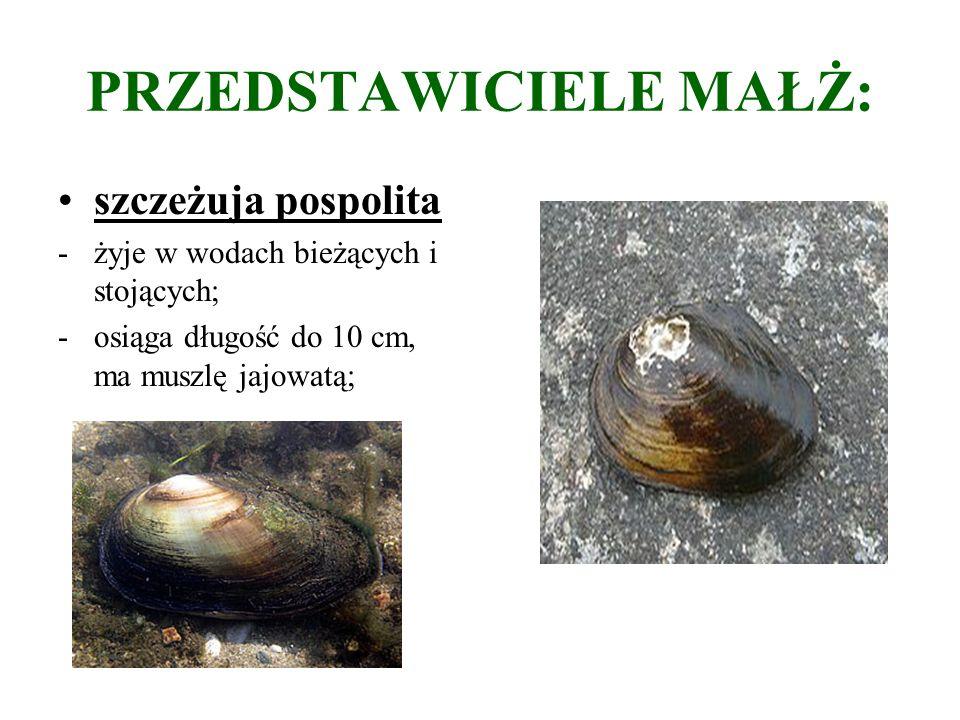 PRZEDSTAWICIELE MAŁŻ: szczeżuja pospolita -żyje w wodach bieżących i stojących; -osiąga długość do 10 cm, ma muszlę jajowatą;
