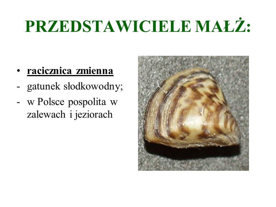 PRZEDSTAWICIELE MAŁŻ: racicznica zmienna -gatunek słodkowodny; -w Polsce pospolita w zalewach i jeziorach
