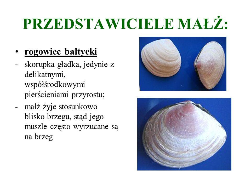PRZEDSTAWICIELE MAŁŻ: rogowiec bałtycki -skorupka gładka, jedynie z delikatnymi, współśrodkowymi pierścieniami przyrostu; -małż żyje stosunkowo blisko brzegu, stąd jego muszle często wyrzucane są na brzeg