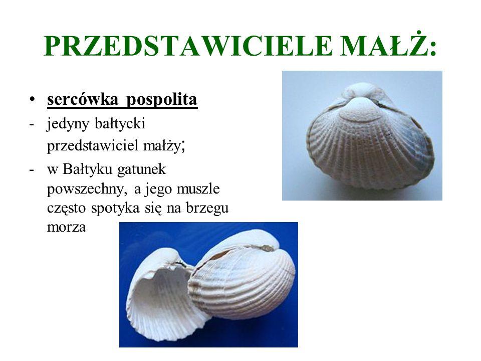 PRZEDSTAWICIELE MAŁŻ: sercówka pospolita -jedyny bałtycki przedstawiciel małży ; -w Bałtyku gatunek powszechny, a jego muszle często spotyka się na brzegu morza