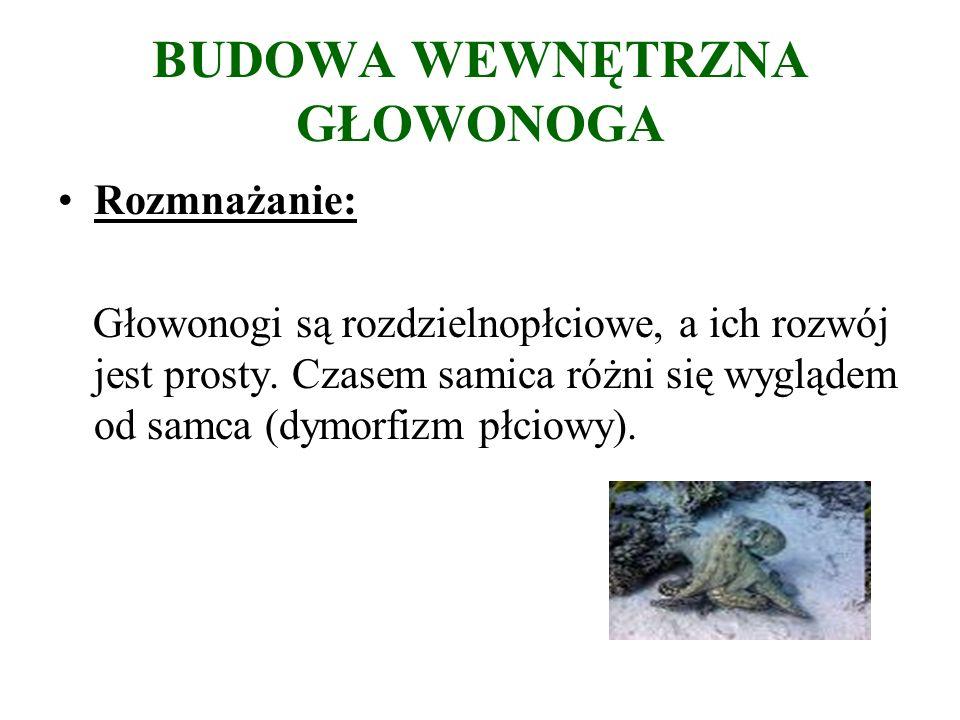 BUDOWA WEWNĘTRZNA GŁOWONOGA Rozmnażanie: Głowonogi są rozdzielnopłciowe, a ich rozwój jest prosty.