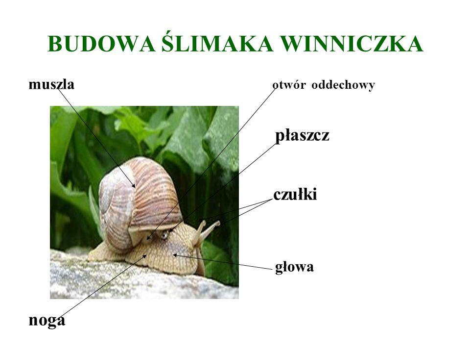 ŚLIMAKI budowa ciała: Ciało ślimaka składa się z głowy, nogi i worka trzewiowego, osłoniętego muszlą.