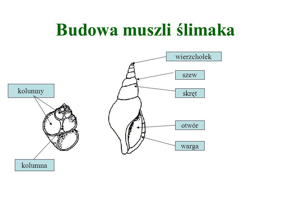 BUDOWA WEWNĘTRZNA MAŁŻA Układ nerwowy: Układ nerwowy u małży składa się ze trzech zwojów nerwowych połączonych parzystymi spoidłami (zwój głowowy, trzewiowy, nożny).