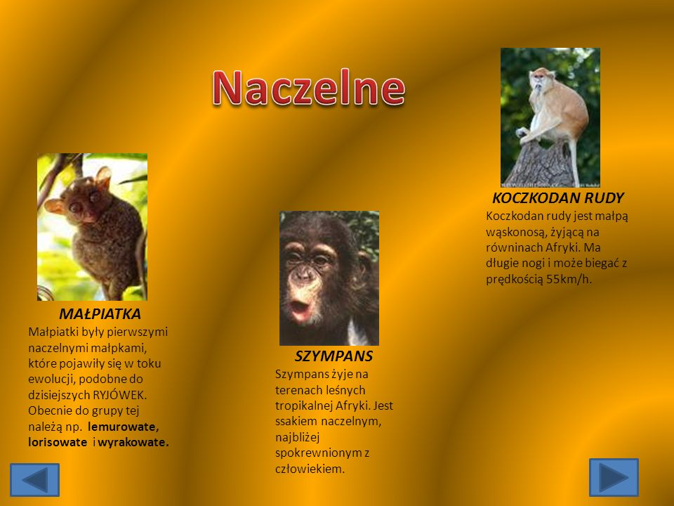 MAŁPIATKA Małpiatki były pierwszymi naczelnymi małpkami, które pojawiły się w toku ewolucji, podobne do dzisiejszych RYJÓWEK.