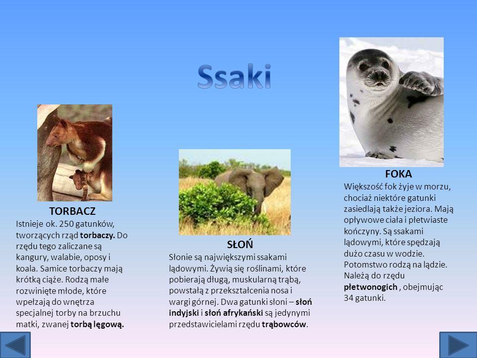 TORBACZ Istnieje ok.250 gatunków, tworzących rząd torbaczy.