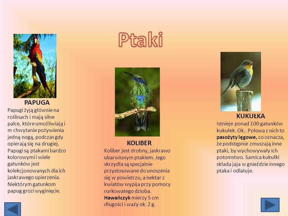 PAPUGA Papugi żyją głównie na roślinach i mają silne palce, które umożliwiają i m chwytanie pożywienia jedną nogą, podczas gdy opierają się na drugiej.
