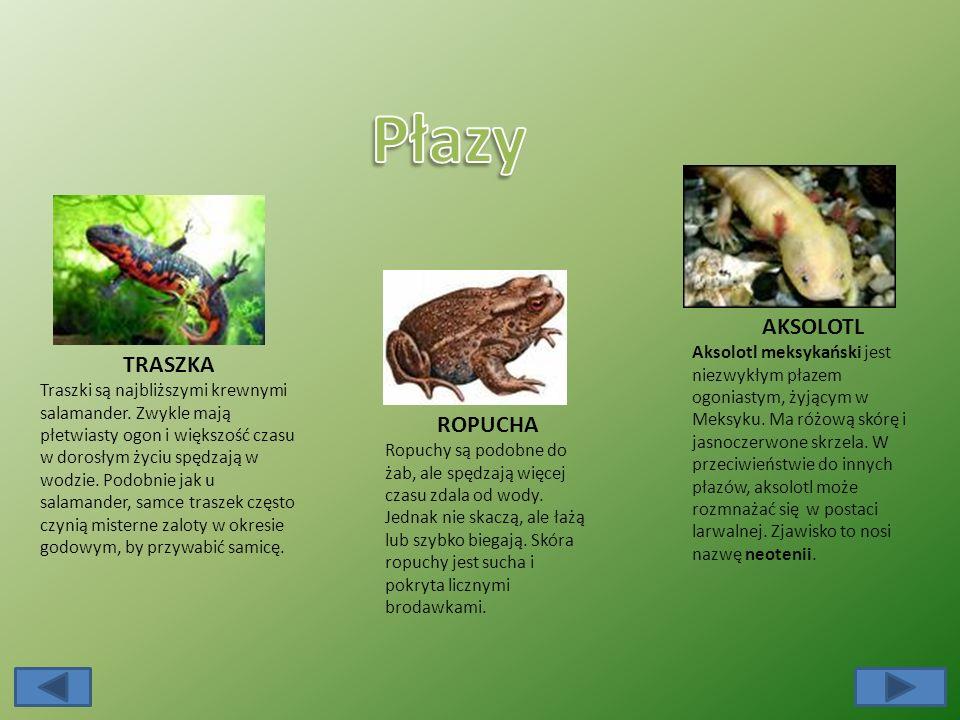 TRASZKA Traszki są najbliższymi krewnymi salamander.
