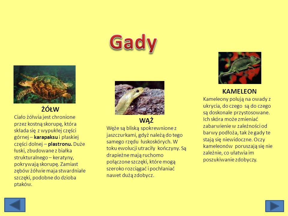 TRASZKA Traszki są najbliższymi krewnymi salamander. Zwykle mają płetwiasty ogon i większość czasu w dorosłym życiu spędzają w wodzie. Podobnie jak u