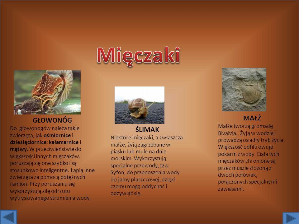 GŁOWONÓG Do głowonogów należą takie zwierzęta, jak ośmiornice i dziesięciornice: kałamarnice i mątwy.