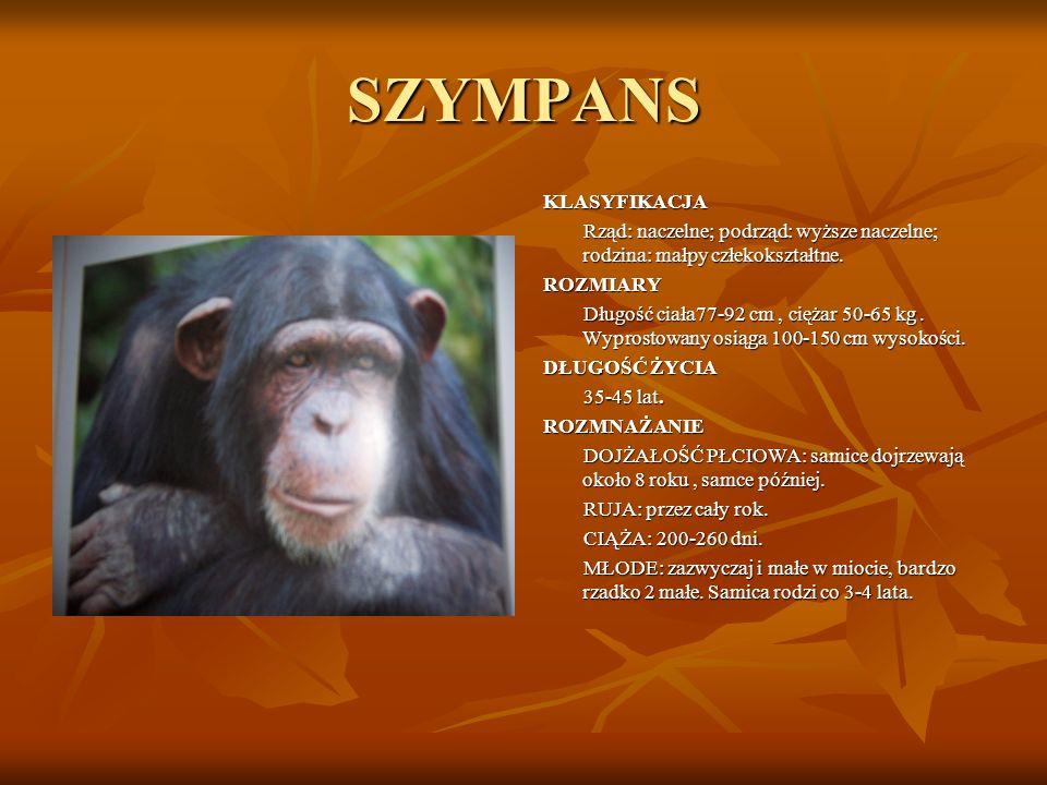 SZYMPANS KLASYFIKACJA Rząd: naczelne; podrząd: wyższe naczelne; rodzina: małpy człekokształtne. ROZMIARY Długość ciała77-92 cm, ciężar 50-65 kg. Wypro