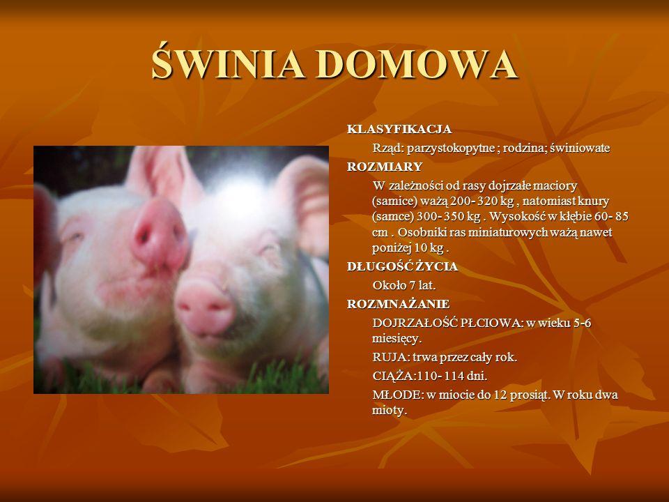 ŚWINIA DOMOWA KLASYFIKACJA Rząd: parzystokopytne ; rodzina; świniowate ROZMIARY W zależności od rasy dojrzałe maciory (samice) ważą 200- 320 kg, natom
