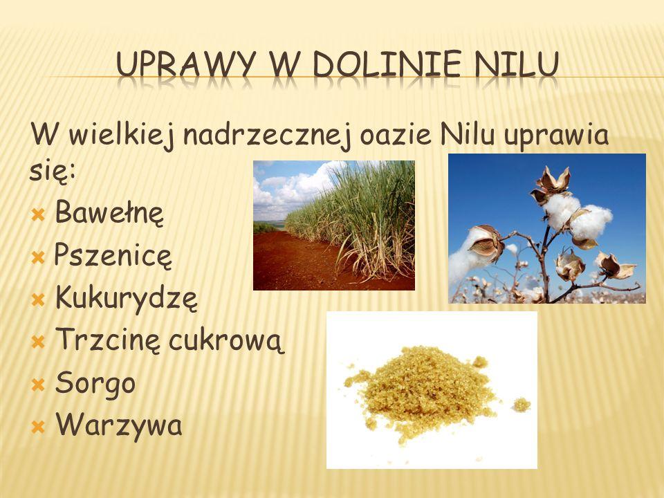 W wielkiej nadrzecznej oazie Nilu uprawia się: Bawełnę Pszenicę Kukurydzę Trzcinę cukrową Sorgo Warzywa
