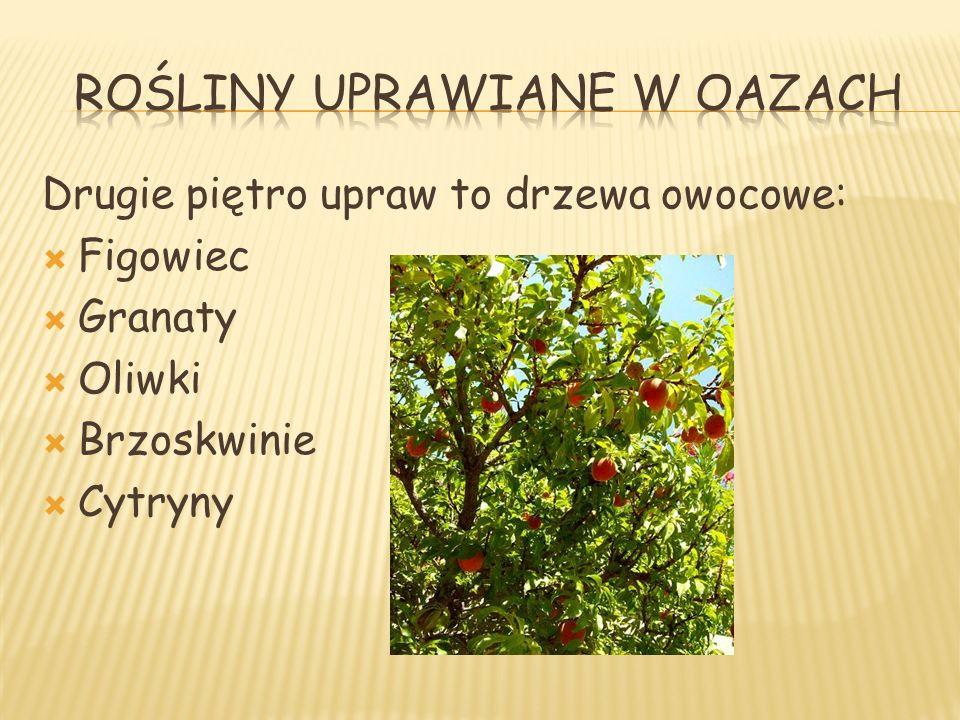 Drugie piętro upraw to drzewa owocowe: Figowiec Granaty Oliwki Brzoskwinie Cytryny
