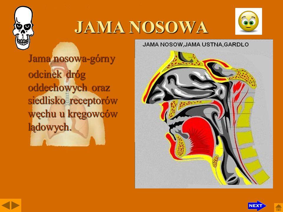 OSKRZELA Oskrzela to odgałęzienia tchawicy wnikające do płuc, składające się z coraz drobniejszych i liczniejszych przewodów; wysłane błoną śluzową.