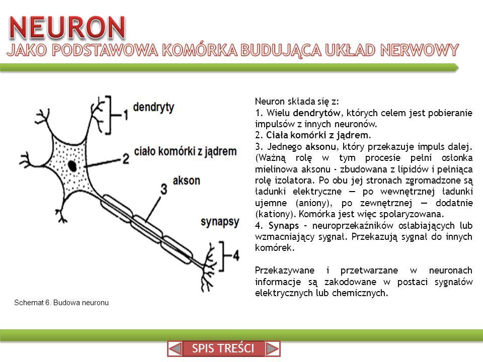 Neuron składa się z: 1. Wielu dendrytów, których celem jest pobieranie impulsów z innych neuronów. 2. Ciała komórki z jądrem. 3. Jednego aksonu, który