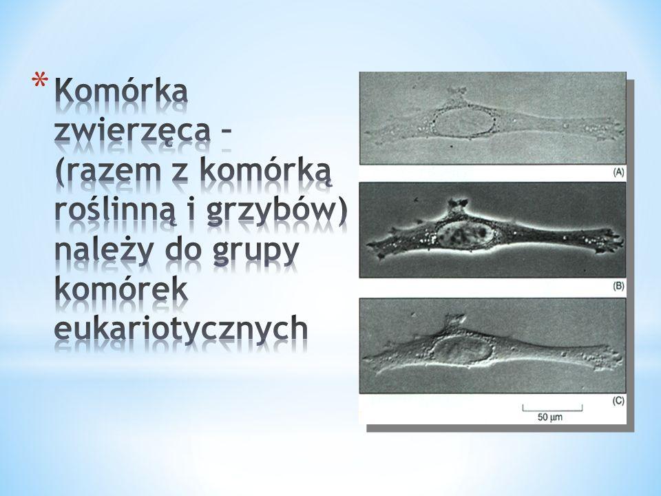 Struktury komórek prokariotycznych i eukariotycznych StrukturaKomórka prokariotyczna Komórka eukariotyczna roślinnazwierzęcagrzybów Błona komórkowaWystępuje (zawiera cholesterol) CytoszkieletNie występuje Występuje cytoszkielet utworzony z sieci włókienek białkowych (filamentów aktynowych i pośrednich) i mikrorureczek (mikrotubul zbudowanych z tubuliny) Jądro komórkowe Nie występuje (w zamian nukleoid z genoforem) Występuje RybosomySą tzw.