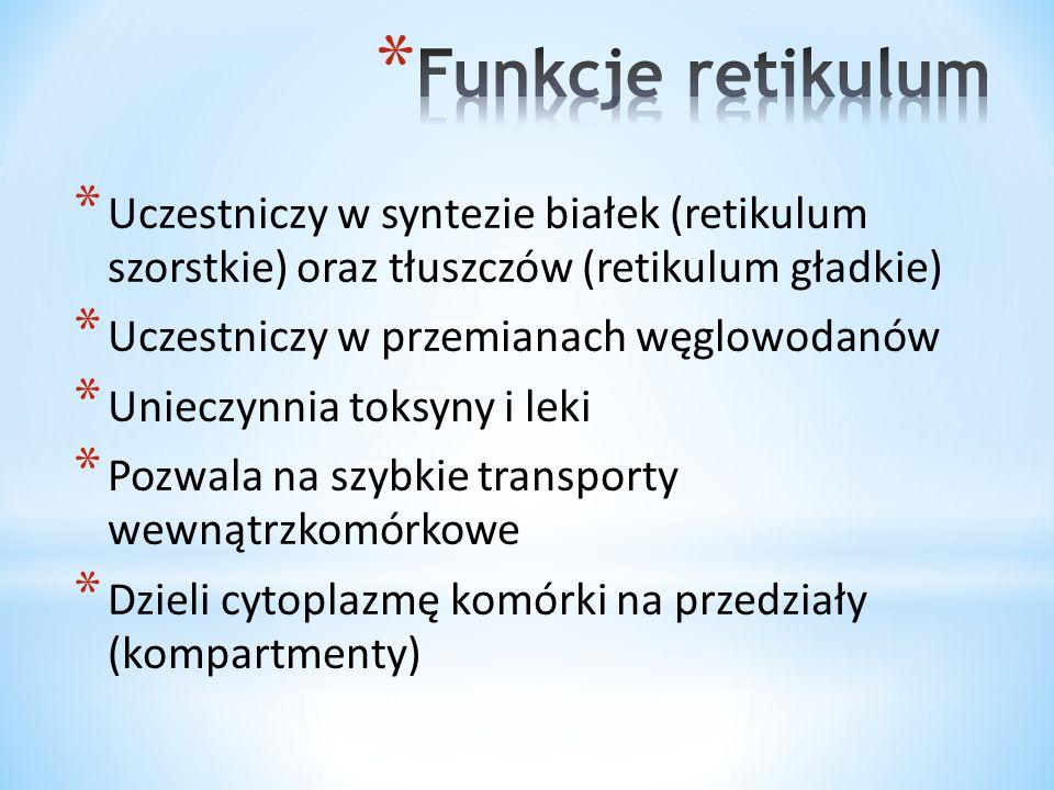 * Uczestniczy w syntezie białek (retikulum szorstkie) oraz tłuszczów (retikulum gładkie) * Uczestniczy w przemianach węglowodanów * Unieczynnia toksyn