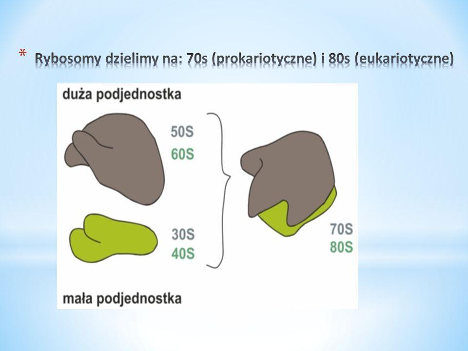 * Rybosomy biorą czynny udział w biosyntezie białka.