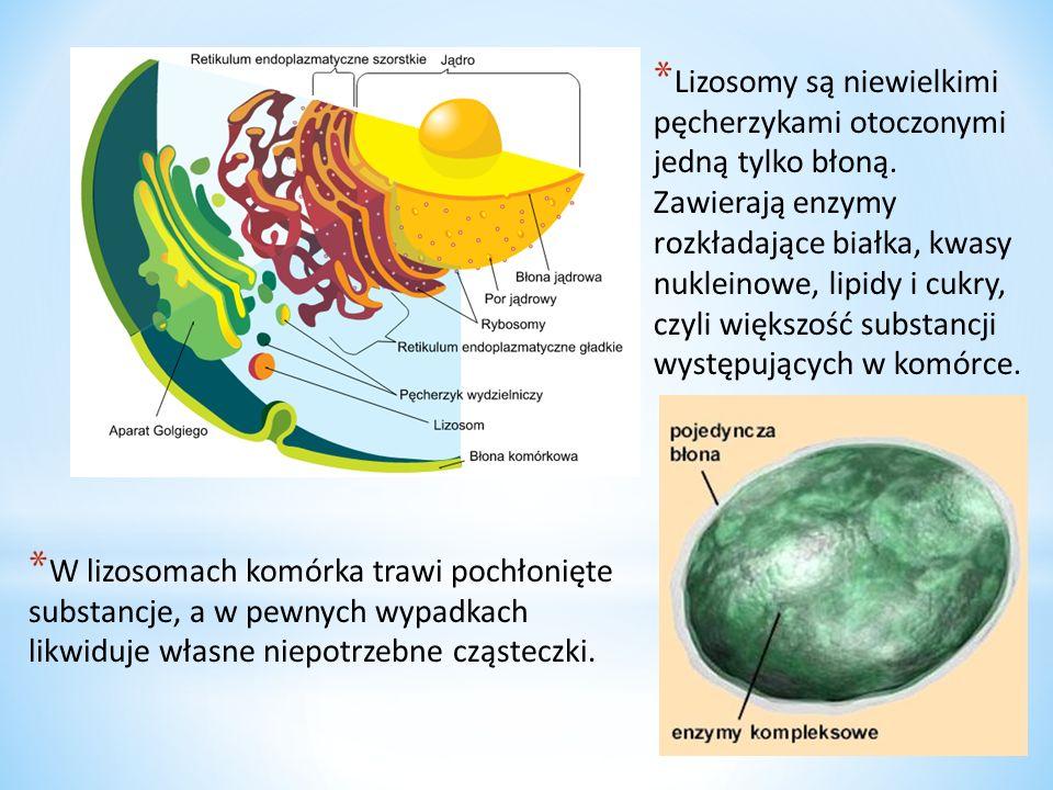 * Lizosomy są organellami biorącymi udział w procesie trawienia wewnątrzkomórkowego materiału egzogennego oraz endogennego.