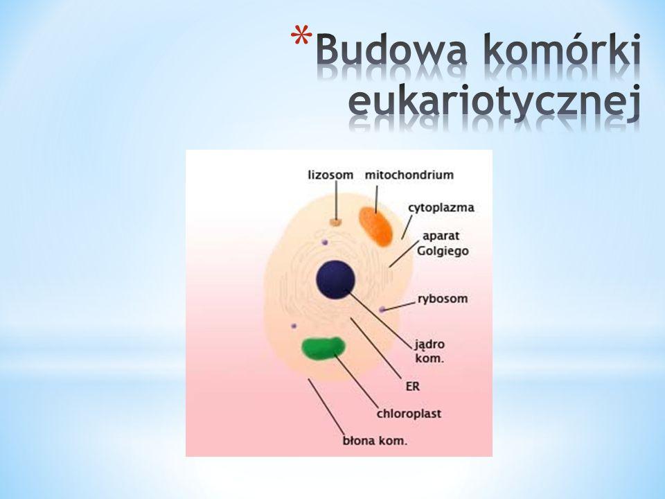 W skład komórki eukariotycznej wchodzą: Błona komórkowa Zbudowana z białek i lipidów, jest półprzepuszczalna i pośredniczy między ciałem komórki a środowiskiem Cytoplazma Galaretowata substancja wypełniająca komórkę; w niej zawieszone są wszystkie struktury oprócz jądra Aparat GolgiegoOdpowiada m.in.