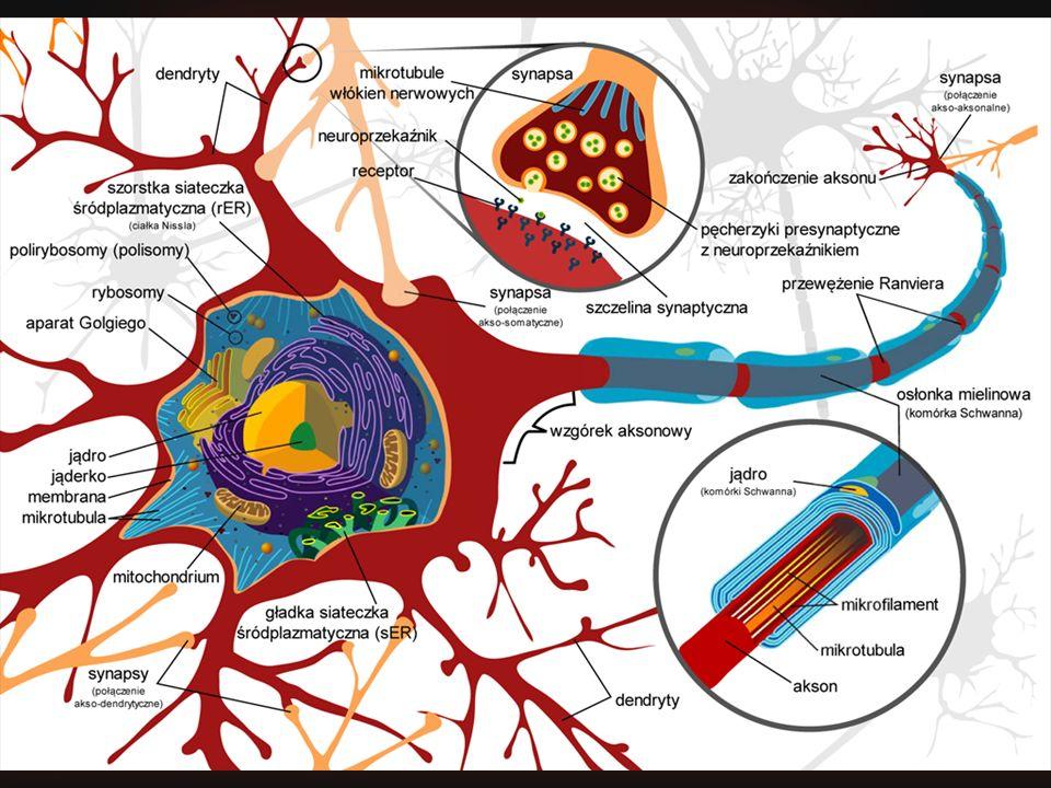 Wizja naukowa Podglądamy jak działa mózg! Neurony – procesory w mózgu? Sztuczne neurony