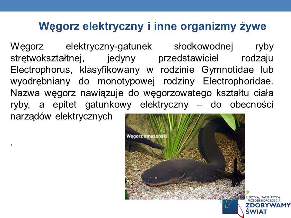 Węgorz elektryczny i inne organizmy żywe Węgorz elektryczny-gatunek słodkowodnej ryby strętwokształtnej, jedyny przedstawiciel rodzaju Electrophorus,