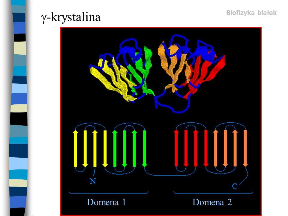 Biofizyka białek -krystalina Domena 1Domena 2