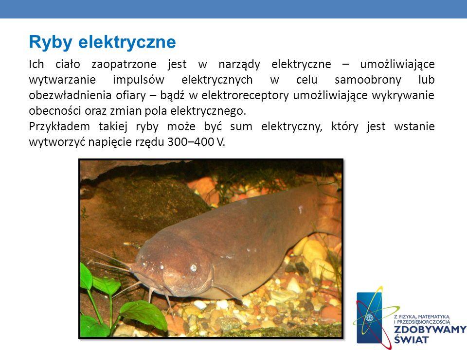 Ryby elektryczne Ich ciało zaopatrzone jest w narządy elektryczne – umożliwiające wytwarzanie impulsów elektrycznych w celu samoobrony lub obezwładnienia ofiary – bądź w elektroreceptory umożliwiające wykrywanie obecności oraz zmian pola elektrycznego.