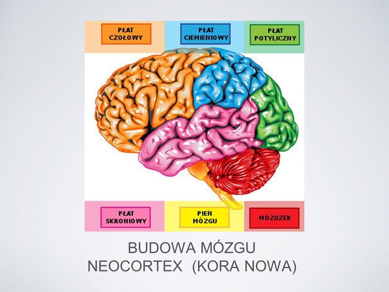 BUDOWA MÓZGU NEOCORTEX (KORA NOWA)