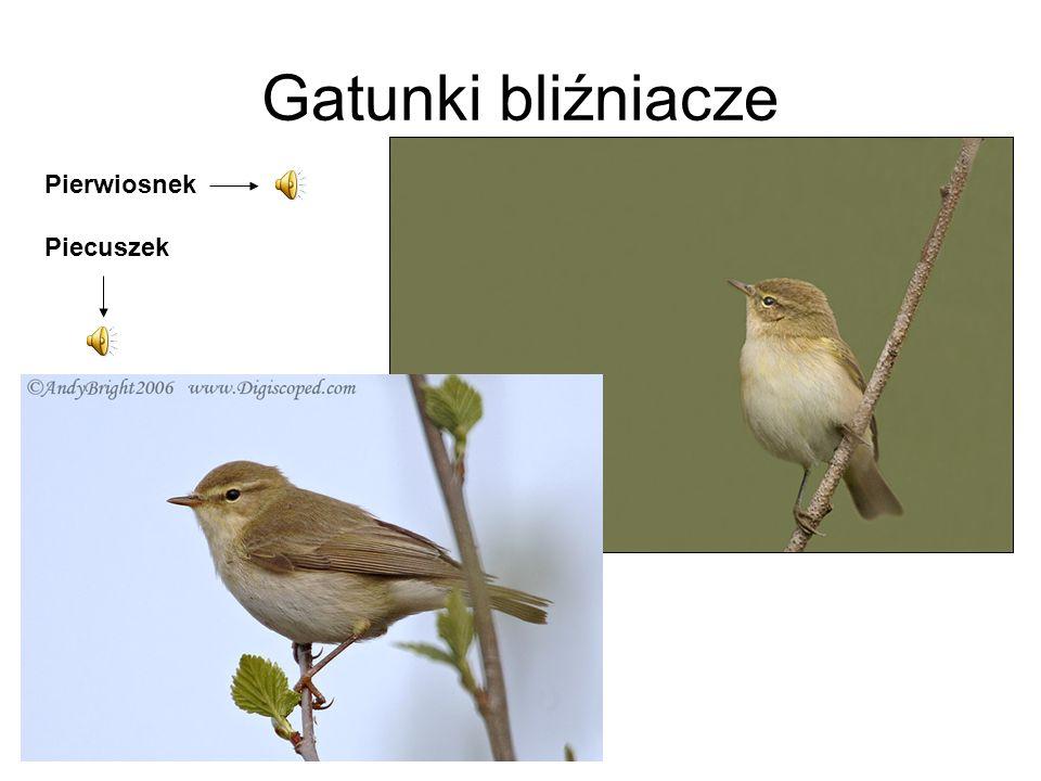 Gatunki bliźniacze Pierwiosnek Piecuszek