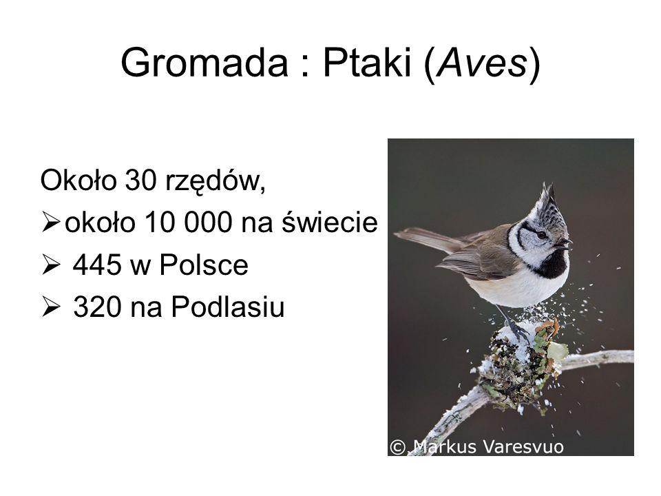 Gromada : Ptaki (Aves) Około 30 rzędów, około 10 000 na świecie 445 w Polsce 320 na Podlasiu