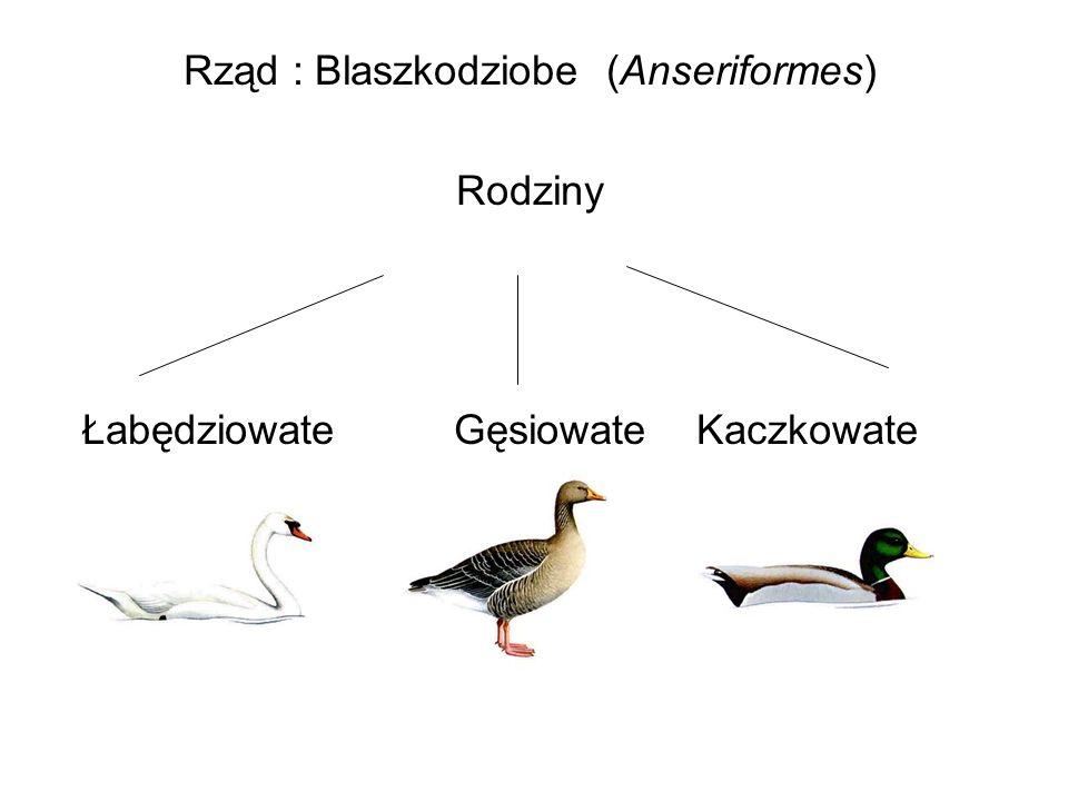 Rząd : Blaszkodziobe (Anseriformes) Rodziny Łabędziowate Gęsiowate Kaczkowate