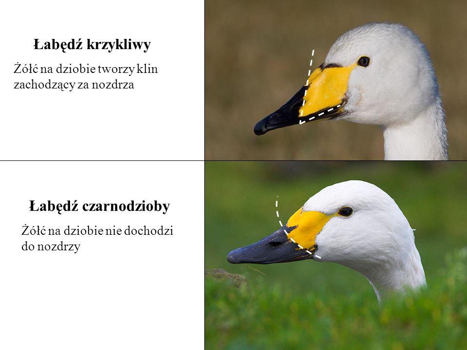 Łabędź krzykliwy Żółć na dziobie tworzy klin zachodzący za nozdrza Łabędź czarnodzioby Żółć na dziobie nie dochodzi do nozdrzy
